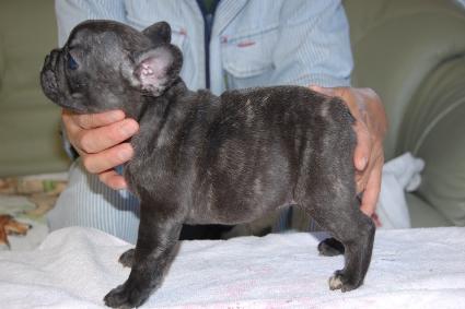 フレンチブルドッグの子犬の写真201109273-2