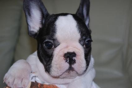 フレンチブルドッグの子犬の写真201108243