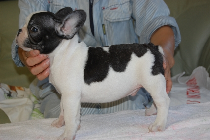 フレンチブルドッグの子犬の写真201108243-2