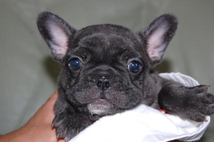 フレンチブルドッグの子犬の写真201109273