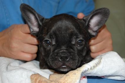 2011年9月20日産まれのフレンチブルドッグ子犬の写真