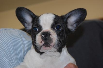 フレンチブルドッグの子犬の写真201108244