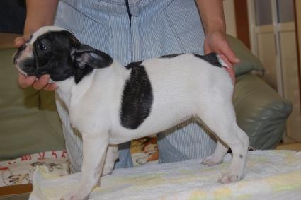 フレンチブルドッグの子犬の写真201108244-2