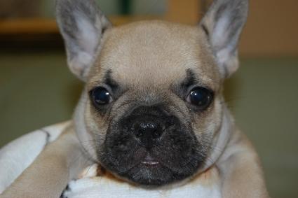 フレンチブルドッグの子犬の写真201111051