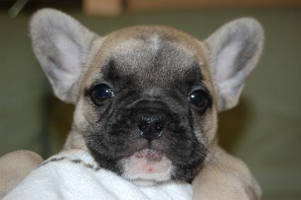 フレンチブルドッグの子犬の写真201111052