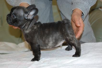 フレンチブルドッグの子犬の写真201111301-2