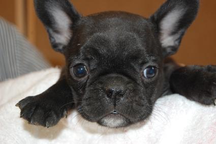 フレンチブルドッグの子犬の写真201111302