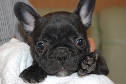 フレンチブルドッグの子犬の写真201111303
