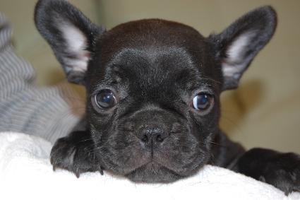 フレンチブルドッグの子犬の写真201111304