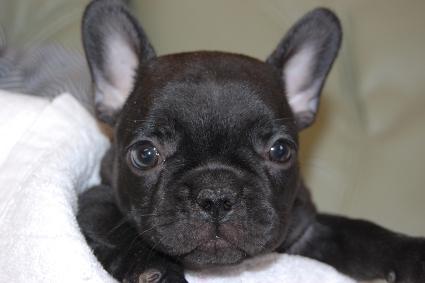 フレンチブルドッグの子犬の写真201111305