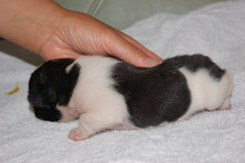 フレンチブルドッグの子犬の写真201205211-2