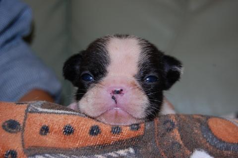 フレンチブルドッグの子犬201205212