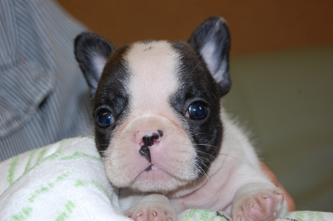 フレンチブルドッグの子犬の写真201205211