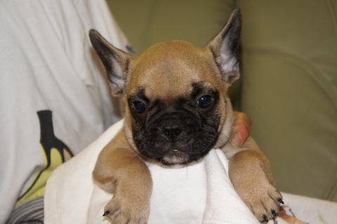 フレンチブルドッグの子犬の写真201206011