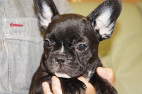 フレンチブルドッグの子犬の写真201206191
