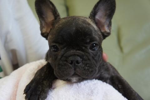フレンチブルドッグの子犬の写真201206291