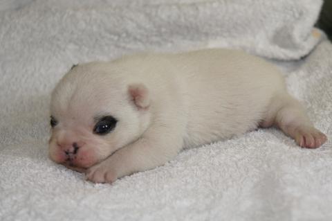 フレンチブルドッグの子犬の写真201211161-2
