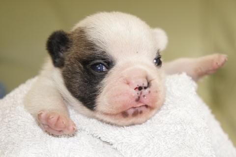 フレンチブルドッグの子犬201211161