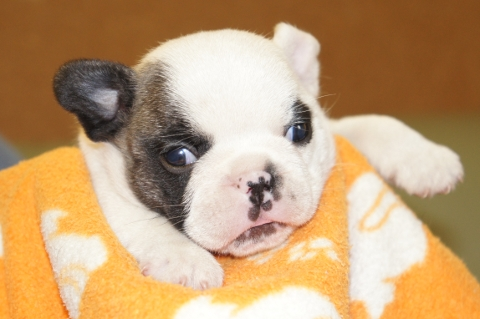 フレンチブルドッグの子犬の写真201211161
