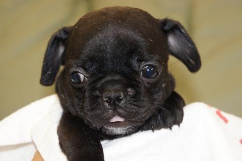 フレンチブルドッグの子犬の写真201212111