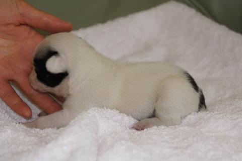フレンチブルドッグの子犬の写真201303121-2