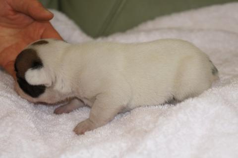 フレンチブルドッグの子犬の写真201303122-2
