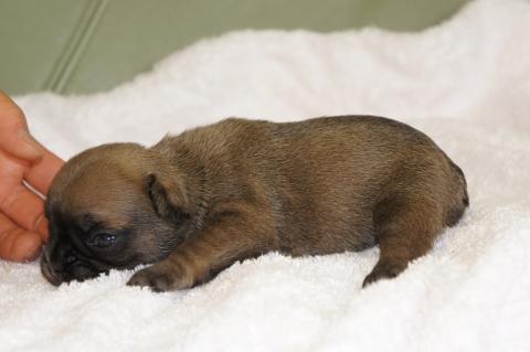 フレンチブルドッグの子犬の写真201303124-2