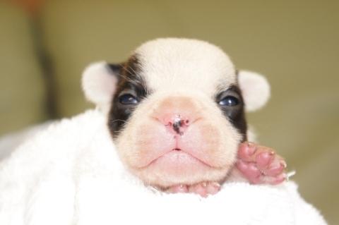 フレンチブルドッグの子犬の写真201303121