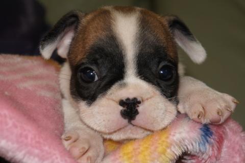 フレンチブルドッグの子犬の写真201303122