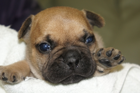 フレンチブルドッグの子犬の写真201304113