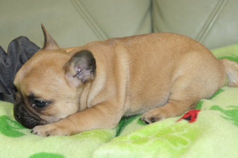 フレンチブルドッグの子犬の写真201304113-2