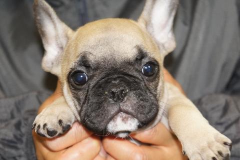 フレンチブルドッグの子犬の写真201303125