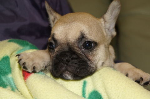 フレンチブルドッグの子犬の写真201304111