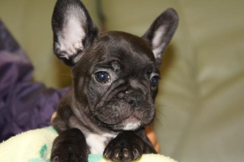 フレンチブルドッグの子犬の写真201304112
