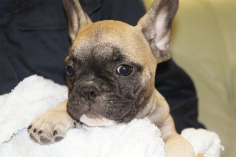 フレンチブルドッグの子犬の写真201303123