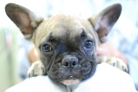 フレンチブルドッグの子犬の写真201303124