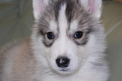 シベリアンハスキーの子犬の写真201001032