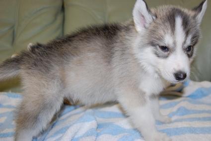 シベリアンハスキーの子犬の写真201001032-2
