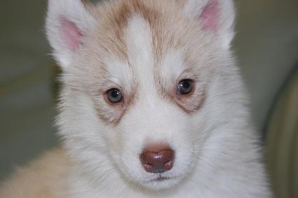 シベリアンハスキーの子犬の写真201001034