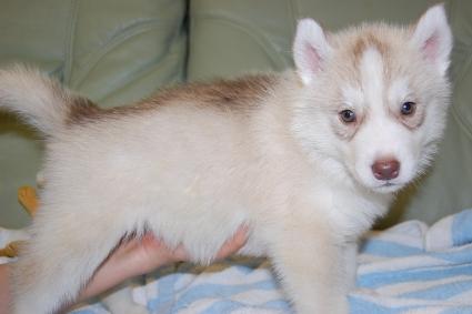 シベリアンハスキーの子犬の写真201001034-2