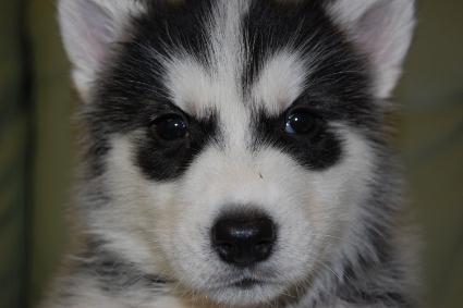 シベリアンハスキーの子犬の写真201001031