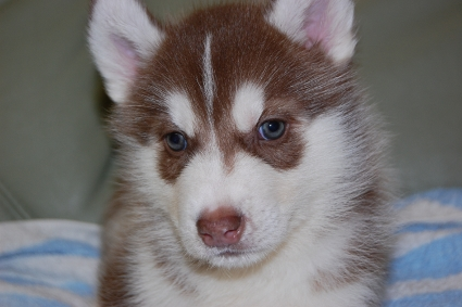 シベリアンハスキーの子犬の写真201001091