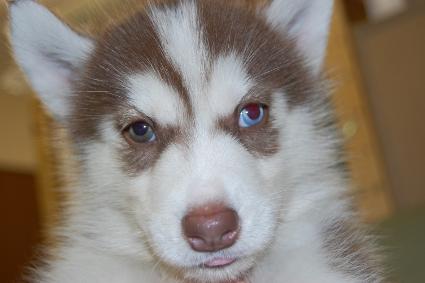 シベリアンハスキーの子犬の写真201001094