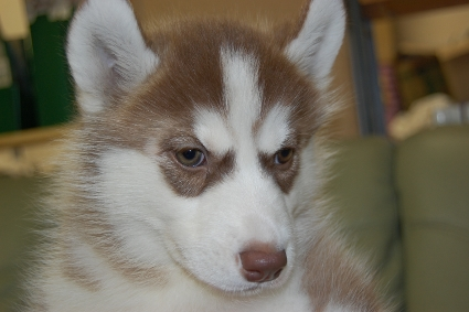 シベリアンハスキーの子犬の写真201001093