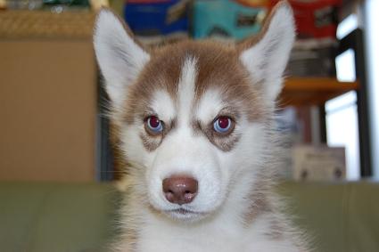 シベリアンハスキーの子犬の写真201001092