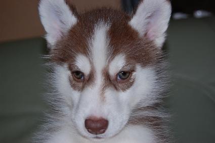 シベリアンハスキーの子犬の写真201001143