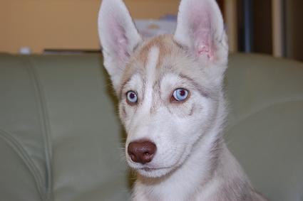 シベリアンハスキーの子犬の写真201001145