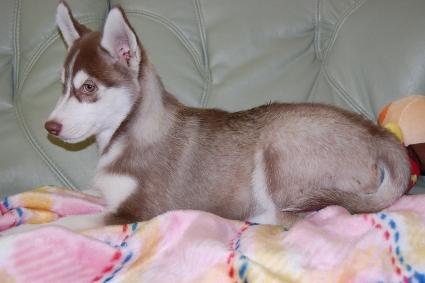 シベリアンハスキーの子犬の写真201001141-2