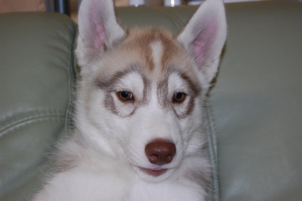 シベリアンハスキーの子犬の写真201001142