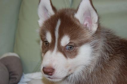 シベリアンハスキーの子犬の写真201007312